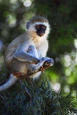 Black-faced Vervet Monkey (Cercopithecus aethiops) juvenile in tree, Elsamere, Lake Naivasha, Kenya  -  Fiona Rogers