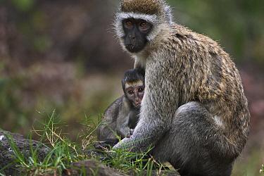 Black-faced Vervet Monkey (Cercopithecus aethiops) mother nursing baby, Elsamere, Lake Naivasha, Kenya  -  Fiona Rogers