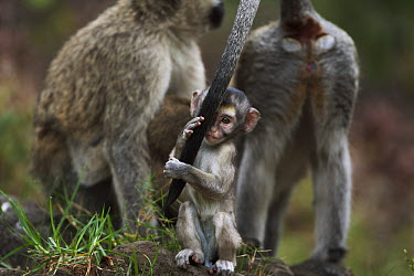 Black-faced Vervet Monkey (Cercopithecus aethiops) young male playing with his mother's tail, Elsamere, Lake Naivasha, Kenya  -  Fiona Rogers