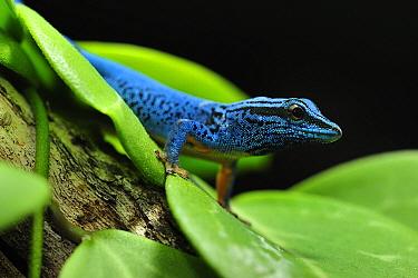 Electric Blue Day Gecko (Lygodactylus williamsi), Kimboza Forest Reserve, Tanzania  -  Thomas Marent