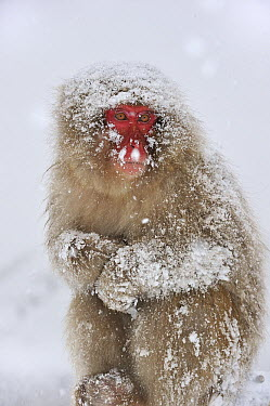 Japanese Macaque (Macaca fuscata) in winter, Jigokudani, Nagano, Japan  -  Thomas Marent