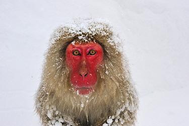 Japanese Macaque (Macaca fuscata), Jigokudani, Nagano, Japan  -  Thomas Marent
