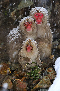 Japanese Macaque (Macaca fuscata) parents with baby, Jigokudani, Nagano, Japan  -  Thomas Marent