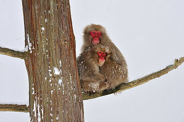 Japanese Macaque (Macaca fuscata) mother with young in tree, huddling for warmth, Jigokudani, Nagano, Japan  -  Thomas Marent