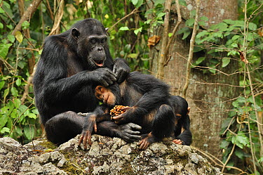 Eastern Chimpanzee (Pan troglodytes schweinfurthii) parent grooming juvenile feeding on fruit, Gombe Stream National Park, Tanzania  -  Thomas Marent