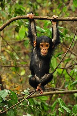 Eastern Chimpanzee (Pan troglodytes schweinfurthii) baby hanging on branch, Gombe Stream National Park, Tanzania  -  Thomas Marent