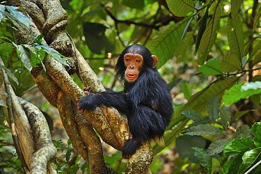 Eastern Chimpanzee (Pan troglodytes schweinfurthii) baby on liana, Gombe Stream National Park, Tanzania  -  Thomas Marent