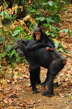 Eastern Chimpanzee (Pan troglodytes schweinfurthii) mother with baby, Gombe Stream National Park, Tanzania  -  Thomas Marent