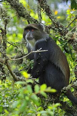 Sykes Monkey (Cercopithecus albogularis) in tree, Arusha National Park, Tanzania  -  Thomas Marent