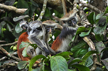 Zanzibar Red Colobus (Procolobus kirkii) mother with baby, Jozani Forest, Zanzibar, Tanzania  -  Thomas Marent