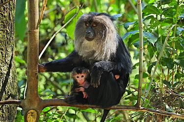 Lion-tailed Macaque (Macaca silenus) mother with baby, Western Ghats, India  -  Thomas Marent