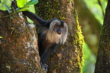 Lion-tailed Macaque (Macaca silenus) in tree, Western Ghats, India  -  Thomas Marent