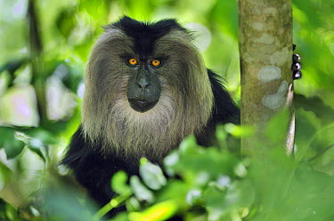 Lion-tailed Macaque (Macaca silenus), Western Ghats, India  -  Thomas Marent