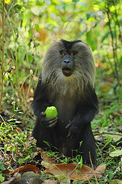 Lion-tailed Macaque (Macaca silenus) feeding on Avocado, Western Ghats, India  -  Thomas Marent