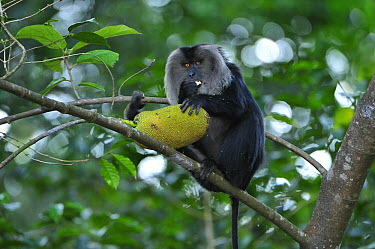 Lion-tailed Macaque (Macaca silenus) feeding on Jackfruit, Western Ghats, India  -  Thomas Marent