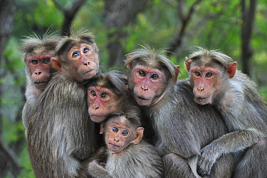 Bonnet Macaque (Macaca radiata) group huddling, Western Ghats, India  -  Thomas Marent