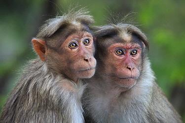 Bonnet Macaque (Macaca radiata) pair huddling, Western Ghats, India  -  Thomas Marent