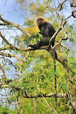 Nilgiri Langur (Trachypithecus johnii) in tree, Nilgiri Hills, Western Ghats, India  -  Thomas Marent