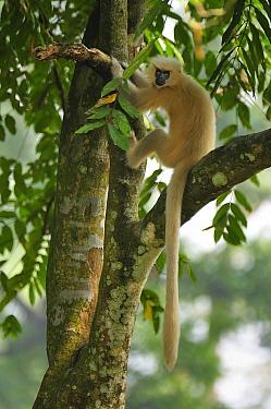 Golden Langur (Trachypithecus geei) in tree, Chakrashila Wildlife Sanctuary, Assam, India  -  Thomas Marent