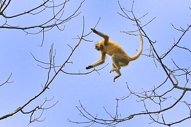 Golden Langur (Trachypithecus geei) jumping between trees, Chakrashila Wildlife Sanctuary, Assam, India  -  Thomas Marent