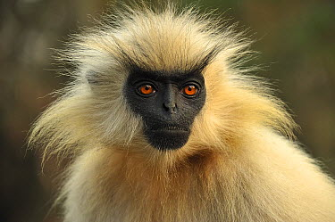 Golden Langur (Trachypithecus geei), Chakrashila Wildlife Sanctuary, Assam, India  -  Thomas Marent