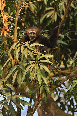 Hoolock Gibbon (Hylobates hoolock) in tree, Hoollongapar Gibbon Sanctuary, Assam, India  -  Thomas Marent