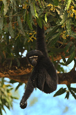 Hoolock Gibbon (Hylobates hoolock) hanging in tree, Hoollongapar Gibbon Sanctuary, Assam, India  -  Thomas Marent