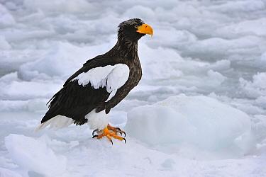 Steller's Sea Eagle (Haliaeetus pelagicus) on ice, Rausu, Hokkaido, Japan  -  Thomas Marent