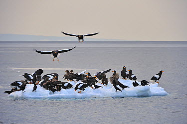 Steller's Sea Eagle (Haliaeetus pelagicus) group on ice floe, Rausu, Hokkaido, Japan  -  Thomas Marent