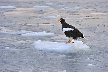 Steller's Sea Eagle (Haliaeetus pelagicus) on ice floe, Rausu, Hokkaido, Japan  -  Thomas Marent