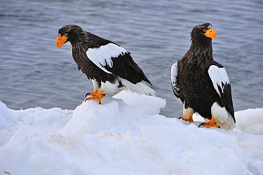 Steller's Sea Eagle (Haliaeetus pelagicus) pair on ice, Rausu, Hokkaido, Japan  -  Thomas Marent