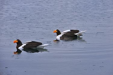 Steller's Sea Eagle (Haliaeetus pelagicus) pair swimming after getting stuck in water, Rausu, Hokkaido, Japan  -  Thomas Marent