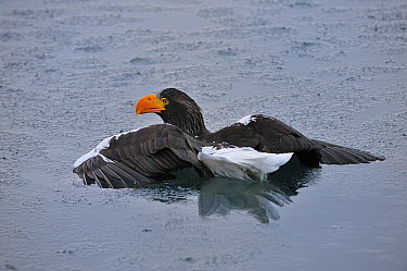 Steller's Sea Eagle (Haliaeetus pelagicus) stuck in water, Rausu, Hokkaido, Japan  -  Thomas Marent