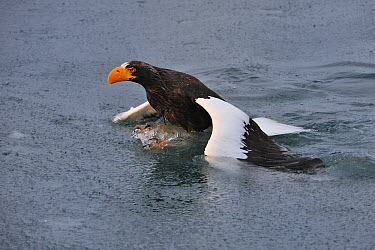 Steller's Sea Eagle (Haliaeetus pelagicus) unsuccessfully trying to take flight from water after getting stuck in it, Rausu, Hokkaido, Japan  -  Thomas Marent