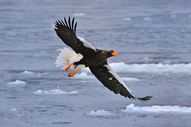 Steller's Sea Eagle (Haliaeetus pelagicus) flying, Rausu, Hokkaido, Japan  -  Thomas Marent