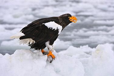 Steller's Sea Eagle (Haliaeetus pelagicus) on ice floe with fish prey, Rausu, Hokkaido, Japan  -  Thomas Marent