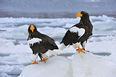 Steller's Sea Eagle (Haliaeetus pelagicus) pair on ice floe, Rausu, Hokkaido, Japan  -  Thomas Marent