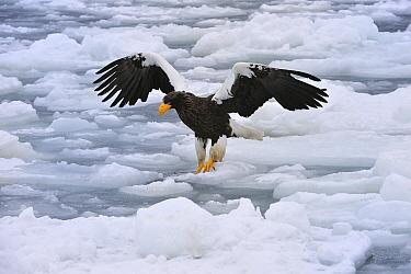 Steller's Sea Eagle (Haliaeetus pelagicus) landing on ice floe, Rausu, Hokkaido, Japan  -  Thomas Marent