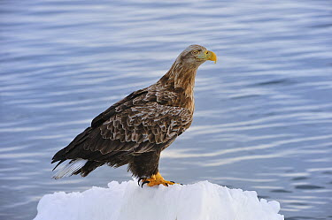 White-tailed Eagle (Haliaeetus albicilla) on ice floe, Rausu, Hokkaido, Japan  -  Thomas Marent