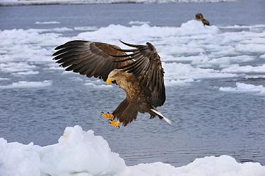White-tailed Eagle (Haliaeetus albicilla) landing on ice floe, Rausu, Hokkaido, Japan  -  Thomas Marent