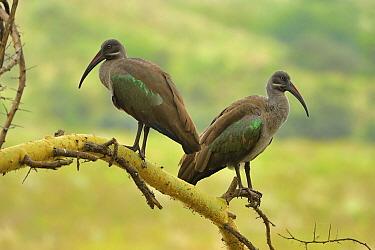 Hadada Ibis (Bostrychia hagedash) pair, Arusha National Park, Tanzania  -  Thomas Marent