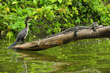 Reed Cormorant (Microcarbo africanus) juvenile with Monitor Lizard (Varanus sp) on tree above water, Arusha National Park, Tanzania  -  Thomas Marent