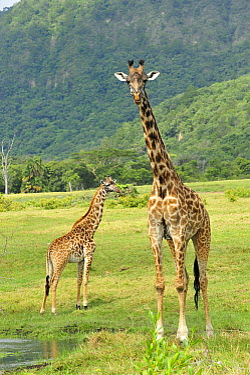 Masai Giraffe (Giraffa tippelskirchi) mother and calf, Arusha National Park, Tanzania  -  Thomas Marent
