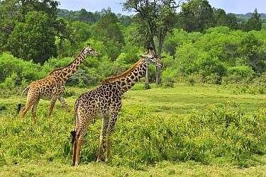 Masai Giraffe (Giraffa tippelskirchi) pair in shrubland, Arusha National Park, Tanzania  -  Thomas Marent