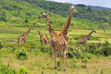 Masai Giraffe (Giraffa tippelskirchi) group in shrubland, Arusha National Park, Tanzania  -  Thomas Marent