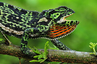 Flap-necked Chameleon (Chamaeleo dilepis) in threat display, Arusha National Park, Tanzania  -  Thomas Marent