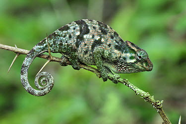 Flap-necked Chameleon (Chamaeleo dilepis) female, Arusha National Park, Tanzania  -  Thomas Marent