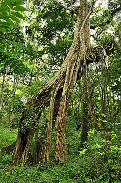 Fig (Ficus sp) tree with extensive aerial roots, Arusha National Park, Tanzania  -  Thomas Marent