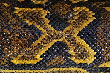 African Rock Python (Python sebae) scale pattern, Jozani National Park, Zanzibar, Tanzania  -  Thomas Marent