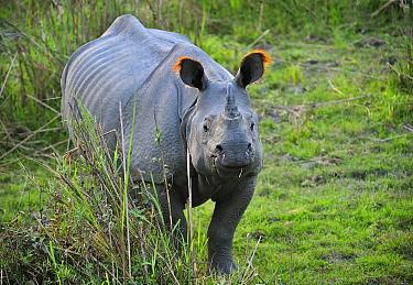 Indian Rhinoceros (Rhinoceros unicornis), Kaziranga National Park, Assam, India  -  Thomas Marent